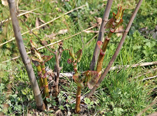 Japanese Knotweed stalk detail