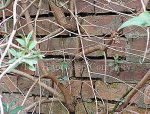 Buddleia growing in wall