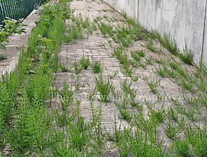 Field horsetail pushing through paved area
