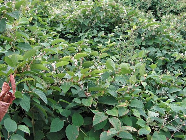 A large mature stand of Japanese knotweed