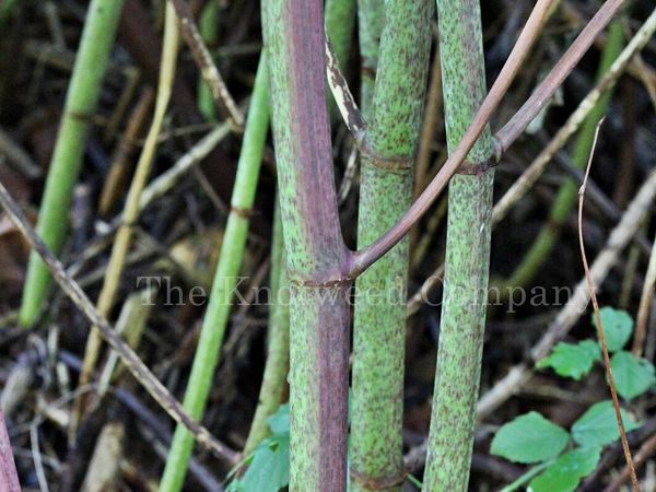Japanese knotweed stems are green, speckled with pink/purple and segmented like bamboo