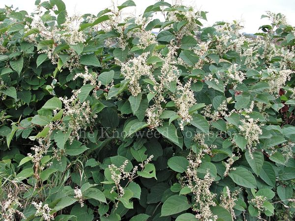 A stand of Japanese knotweed in flower