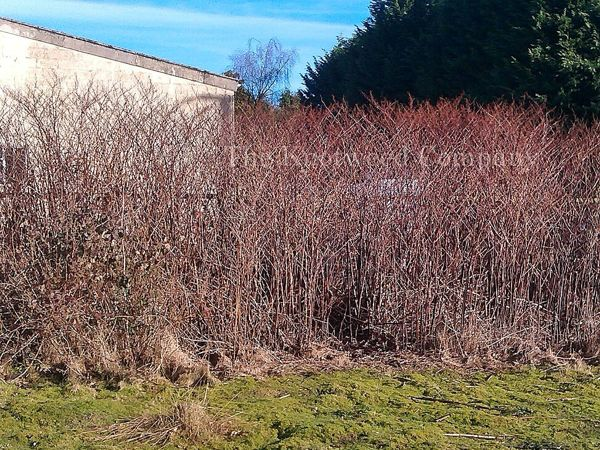 >A mature Japanese knotweed stand during the winter months, showing upright dead stems