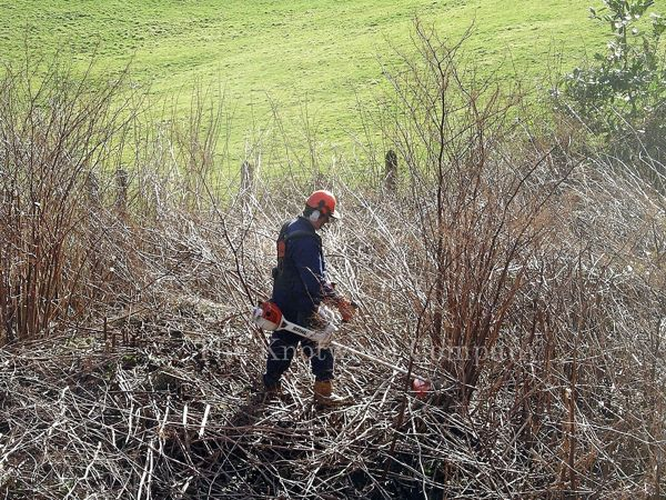 Winter brushcut operations on a large Japanese knotweed stand
