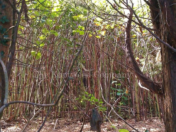 Fully grown mature knotweed stand
