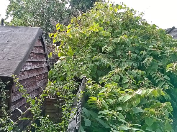 An uncontrolled Japanese knotweed infestation on a neighbouring property