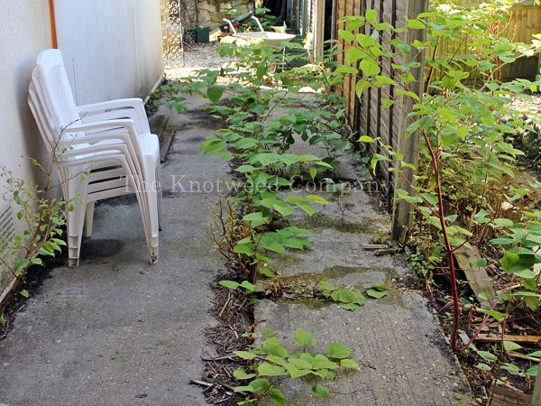 Mature knotweed has historically been concreted over but continues to emerge around the edges and through cracks