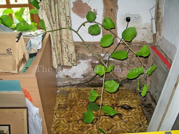 Japanese knotweed has found a weakness in a decaying wall and has grown inside a property