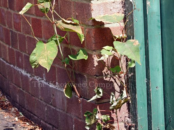 Japanese knotweed growing through a poorly-maintained wall