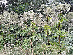 Giant Hogweed stand