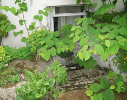 Knotweed growth in paved area