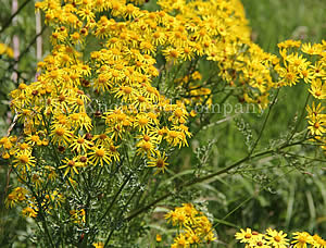 Large ragwort plant in flower