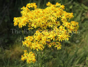 Ragwort in flower